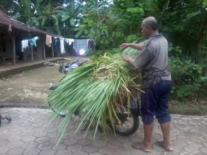 Mencari Rumput Untuk Makan ternak